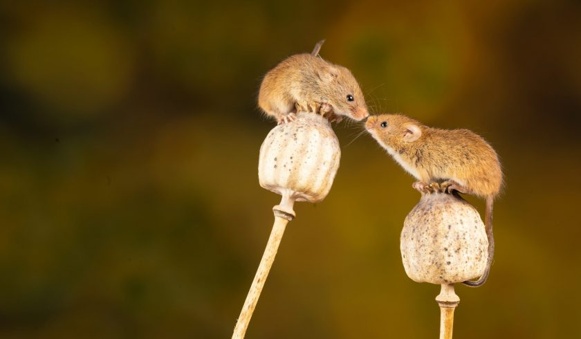 facts about mice
