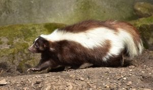 facts about skunks