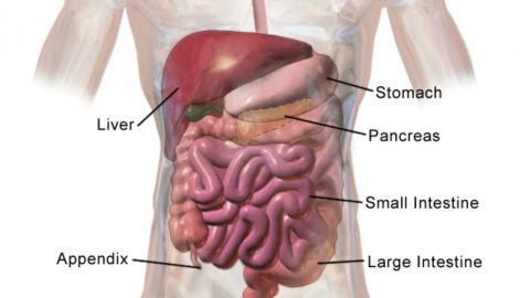 facts about the digestive system