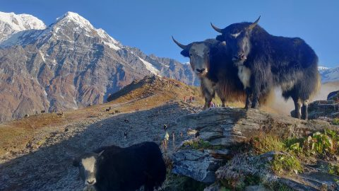 facts about yaks