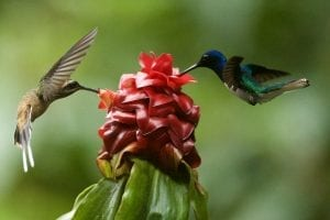 fascinating facts about Hummingbirds
