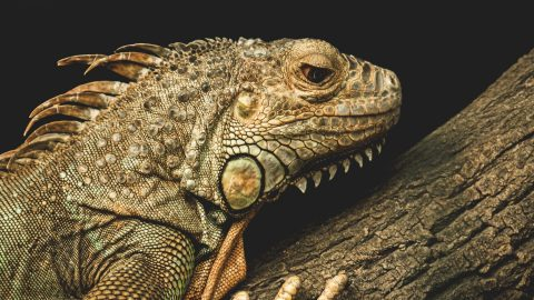 fun facts about lizards