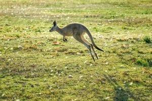 funny facts kangaroos