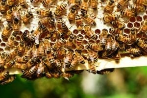 honey bees facts