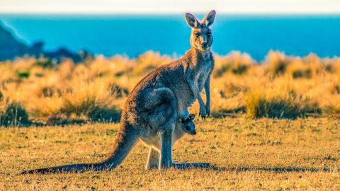 interesting facts about Kangaroos