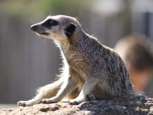 interesting facts about Meerkats
