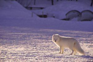 Arctic fox standing on the ice