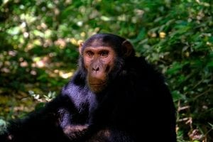 Chimpanzees Facts