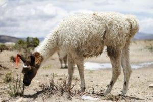 Fun Llama Facts