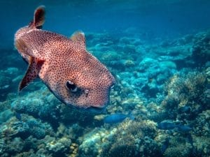 Puffer fish in the Red Sea
