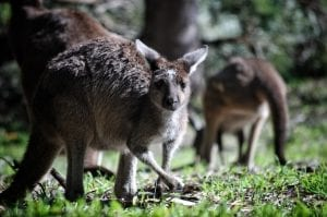 facts about Kangaroos