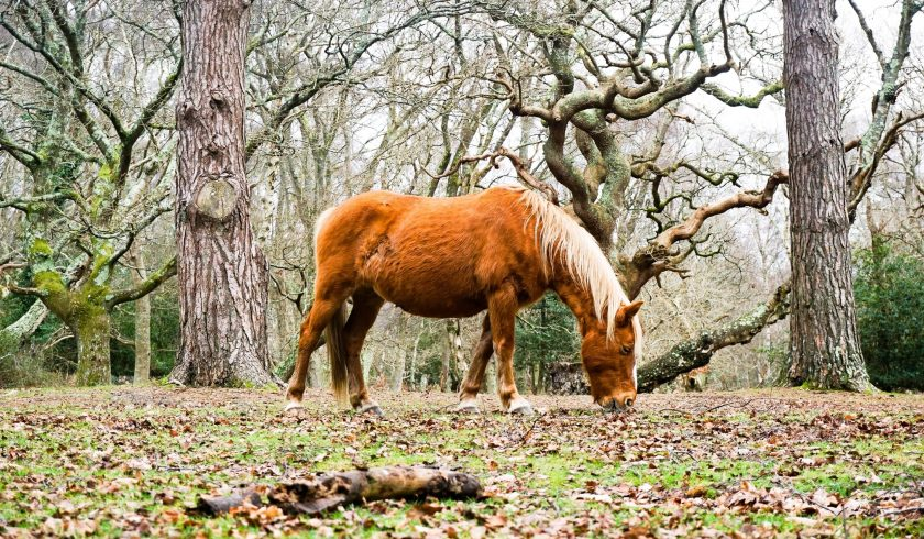 facts about the new forest