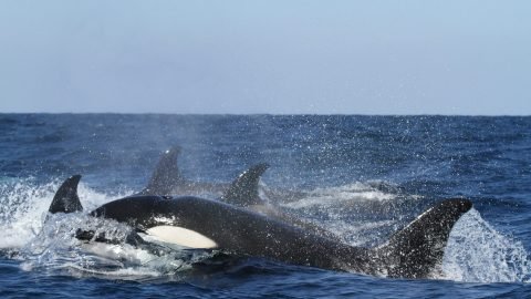 fun facts about killer whales