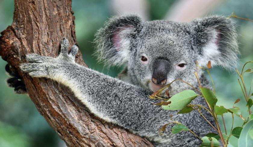 fun facts about koala bears