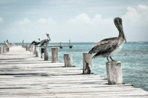 fun facts about pelicans