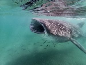 fun facts about whale sharks