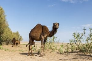 funu facts about camels
