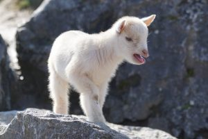 Baby goat bleating.