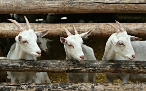 3 goats looking through a fence