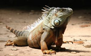 An impressive looking iguana