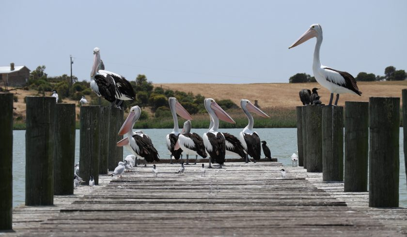 interesting facts about Pelicans