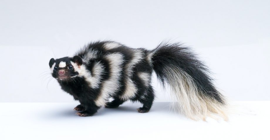 interesting facts about skunks
