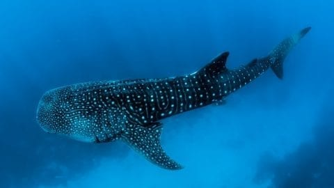 interesting facts about whale sharks
