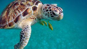 Sea Turtle in the Red Sea