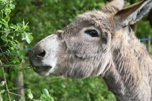 Donkey Facts