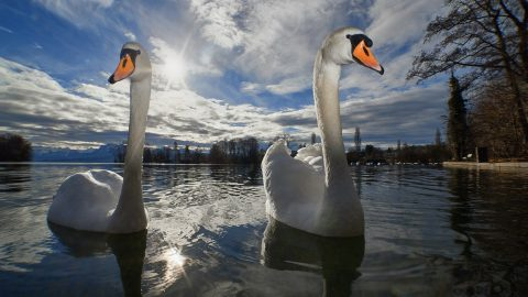 Facts about Swans