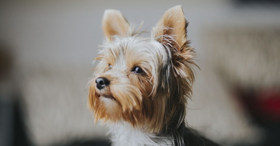 Facts about Yorkshire terrier Dogs