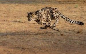 Fun Facts about Cheetahs