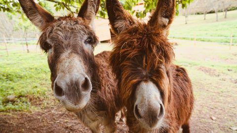 Fun facts about Donkeys