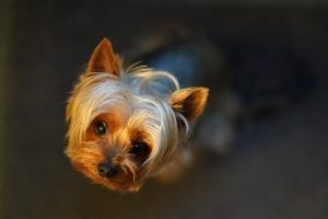Fun facts about Yorkies