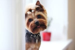 Fun facts about Yorkshire Terrier Dogs