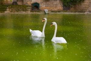 Fun facts about swans