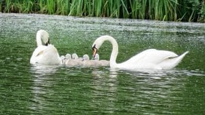 Interesting facts about swans