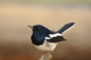Magpie Facts
