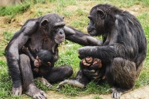 fun facts about chimps