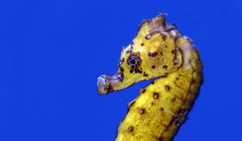 facts about seahorses