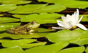 a green frog on a lily pad