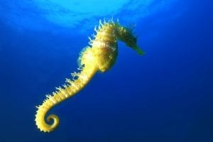 interesting facts about seahorses