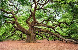 A beautiful old oak tree in full leaf