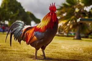 A brightly colored rooster