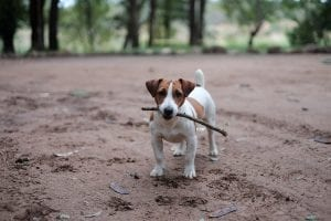 Jack Russell holding a stick