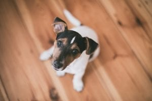 Fun Jack Russell Terrier Dog Facts