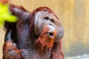 Fun Orangutan facts