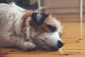 Long haired Jack Russell sleeping