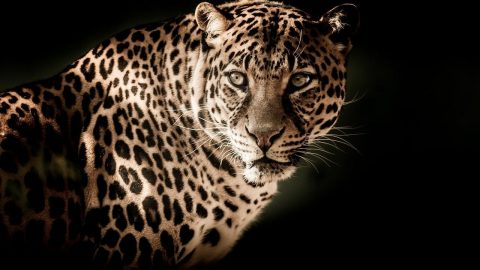Interesting facts about Leopards