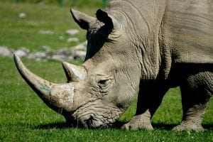 Interesting facts about Rhinos